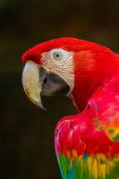 Red-and-green Macaw (Ara chloropterus)