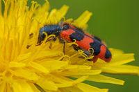 Gemeiner Bienenkaefer (Trichodes apiarius)