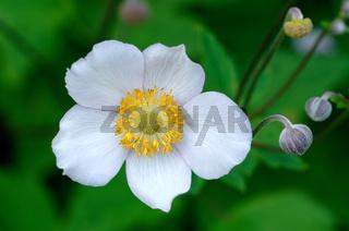 Anemone nemorosa, Blüte eines Buschwindröschen