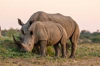 White Rhinoceros or Square-lipped rhinoceros (Ceratotherium simum) in Namibia