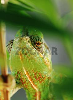Chameleon on the leaf (Chamaeleo calyptratus)