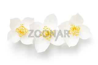 Jasmine Isolated Over White Background Three Flowers