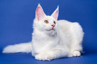 Longhair cat breed Maine Coon Cat. Animal lies on blue background