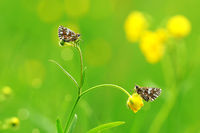 grizzled skipper on buttercup
