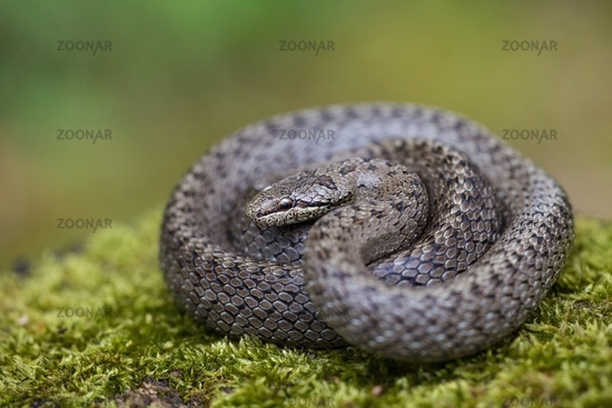 Textured dice snake basking on green ground with blurred background