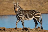 A Cape mountain zebra (Equus zebra) at a waterhole