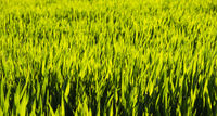 Green field in rural area. Landscape of agricultural cereal fields.
