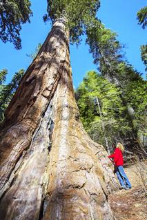 Mammutbaum im Yosemite Nationalpark in Kalifornien