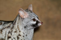 Close-up portrait of a large-spotted genet (Genetta tigrina)