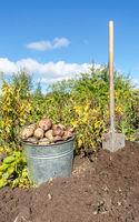 Freshly harvested organic potatoes at the vegetable garden