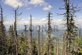 Tote Fichten nach Borkenkäferbefall auf dem Belchen im Schwarzwald
