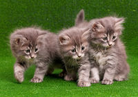 Cute gray kittens