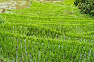 Landschaft mit Reisfeld Terrassen in Tana Toraja auf Sulawesi