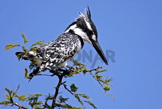Graufischer, pied kingfisher, ceryle rudis, Südafrika