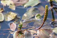 green Emperor Dragonfly on pond, Czech Republic