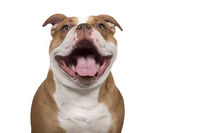 Portrait of an happy old english bulldog looking at the camera with a huge smile isolated on a white background
