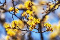 Cornus Officinalis or Sansuyu