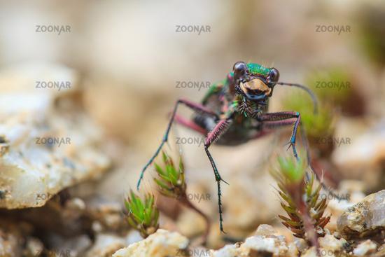 green tiger beetle Cicindela campestris