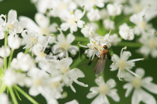 Micropezidae Stelzenfliege