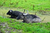 Alb buffalo on the Swabian Alb take a mud bath