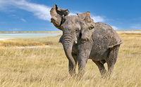 angry elephant, Etosha National Park, Namibia, (Loxodonta africana)
