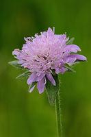 Wiesen-Wittwenblume (Knautia arvensis)