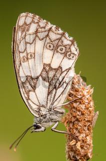 Schachbrettfalter, Marbled White (Melanargia galat