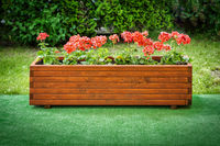Geraniums in a wooden box