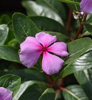 Madagaskar-Immergruen, Cathranthus roseus