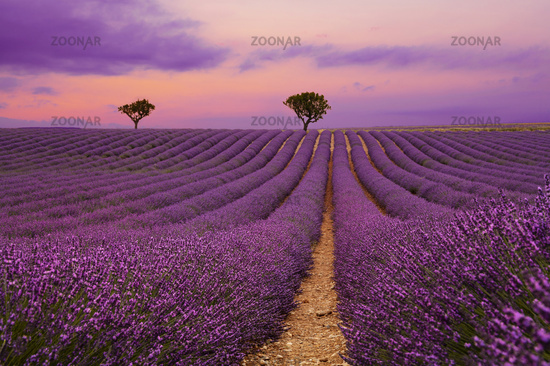 Purple lavender field of Provence at sunset