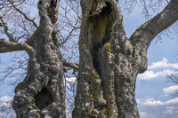 The old trees