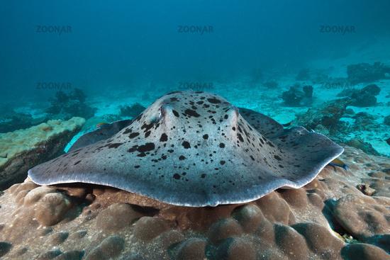 Schwarzflecken-Stachelrochen, Malediven