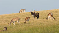 Herd of fallow deer on a meadow with yellow dry grass in rutting season