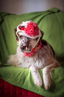 Funny portrait of big dog in hat on the sofa