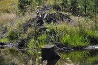 Biberburg an gestautem Wasser  - Beaver`s lodge at pent up water