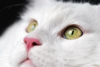 Extreme close-up portrait of white color American Longhair Cat on black background