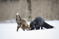 Rotfuchs und Silberfuchs,Vulpes vulpes, red fox and silver fox