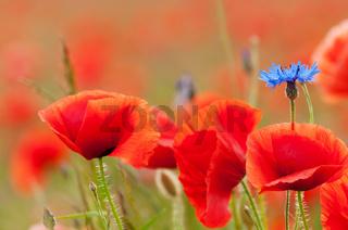 Kornblume umgeben von blühendem Mohn