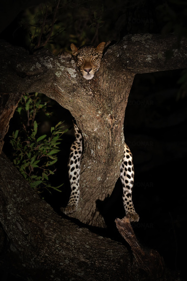 Relaxed Leopard at night in tree, sleeping