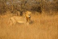 Big male African lion (Panthera leo) in natural habitat