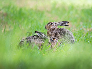 Two hares sitting at a meadow in spring