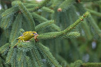 A male Greenfinch threatens a conspecific / Chloris chloris