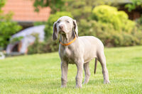 Portrait of cute weimaraner puppy dog breed at the park being playful.