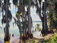Florida wetland. Cypress trees in florida