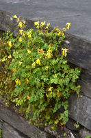 yellow Lark spurs
