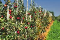 row of apple trees with ripe red fruits