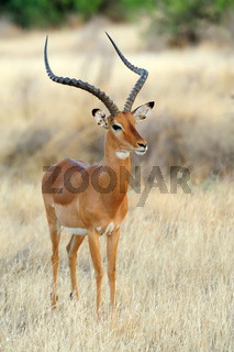 Impala in savanna