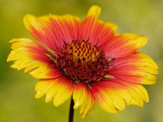 Kokardenblume im Garten