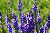 Beautiful flowers of lupine blooms in the meadow.
