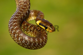 Aesculapian snake hanging in green summer environment